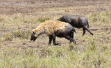 Hyenas Covered with Mud