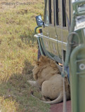 Lion Resting in Shade Caused Traffic Jam