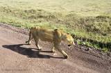 Female Lion Walking Along Road