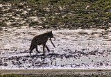 Hyena with with Remains of Kill