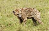 Wet Baby Hyena
