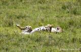 Cheetah Rolling on Ground