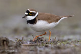 CORRIERE PICCOLO - Little Ringed Plover - by Carmine Arienzo