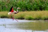 Flamingo landing, Laguna de Fuente de Piedra