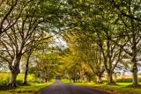 Beech tree-lined road, near Blandford, Dorset