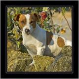 Guard dog, near Martock, Somerset