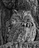 _N122558 Gray Morph Eastern Screech Owl.jpg