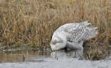 _N123838 Snowy Owl Drinking From Pond.jpg