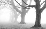 _NW00664 Ancient Maples in Fog.jpg