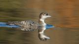 _N122422 Common Loon Winter Plumage.jpg