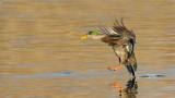 _N122523 Mallard Duck Landing.jpg