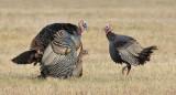 _N123801 Wild Turkeys Mating.jpg