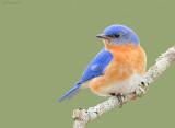 _NW00969 Eastern Bluebird Male.jpg