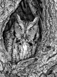 _NW08674 Gray Morph Eastern Screech Owl.jpg