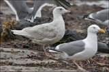 possible Glaucous-winged x Glaucous Gull, 1st cycle