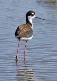 Black-necked Stilt, female