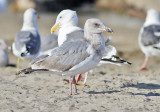 Glaucous-winged x Western Gull, 2nd cycle