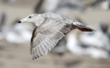 Glaucous-winged x Herring Gull, 1st cycle (2 of 3)