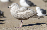 Glaucous-winged x Herring Gull, 1st cycle (1 of 3)