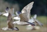 presumed Glaucous x Herring Gull, 1st cycle (3 of 3)