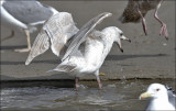 possible Glaucous x Herring Gull - Nelson's - 2nd cycle, (2 of 2)