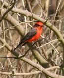 Vermilion Flycatcher, male adult (#1 of 3)