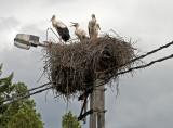 Stork family, road to Budapest (HUNGARY)