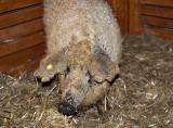 Mangalica (Pig) Festival: Star of the event