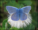 Butterflies - Sweden