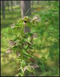 Epipactis helleborine - Broad-leaved Helleborine -  Skogsknipprot.jpg