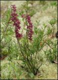 Epipactis atrorubens - Dar Red Helleborine - Purpurknipprot 3.jpg