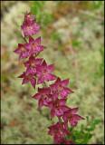 Epipactis atrorubens - Dark Red Helleborine - Purpurknipprot 2.jpg
