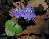 Hepatica nobilis - Blåsippor.jpg