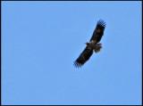 White-tailed Sea Eagle - Havsörn.jpg
