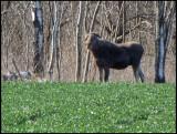 Elk calf - Älgkalv .jpg