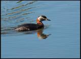 Red-necked Grebe - Podiceps grisegena - Gråhakedopping.jpg