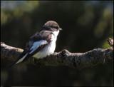 Pied Flycatcher - Svartvit  flugsnappare .jpg