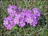 Bird's eye Primrose - Primula farinosa - Majviva.jpg