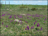 Early Purple Orchid - Orchis Macula - St. Pers nycklar.jpg