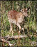 Fallow Deer - Dovhjort.jpg