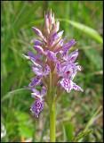 Dactylorhiza fuchsii - Common Spotted Orchid - Skogsnycklar.jpg