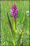 Dactylorhiza. incarnata ssp. cruenta - Flecked Marsh-orchid - Blodnycklar