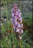 Gymnadenia conopsea - Fragrant Orchid - Brudsporre.jpg