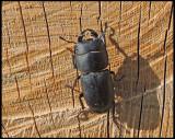 Lesser Stag Beetle - Dorcus parallelipipedus - Bokoxe 2.jpg