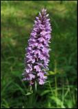 Dactylorhiza maculata - Heath Spotted Orchid - Jungfru Marie nycklar.jpg