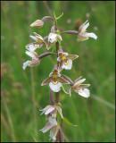Epipactis palustris - Kärrknipprot.jpg