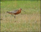 Bar-tailed Godwit - Limosa lapponica - Myrspov hane.jpg