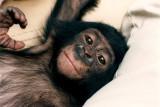 Pan paniscus, Pygmy Chimpanzee,