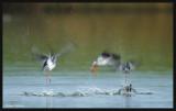 Spotted Redshank / zwarte ruiters