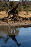Giraffe Reflection